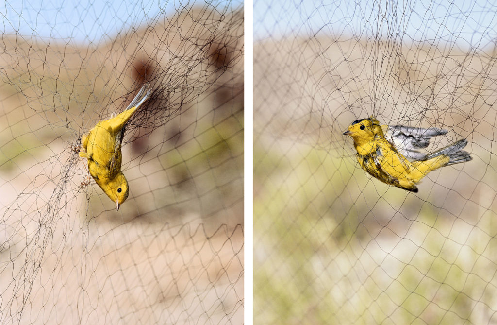 Untitled (Wilson's Warblers, female & male caught in mist net, diptych)