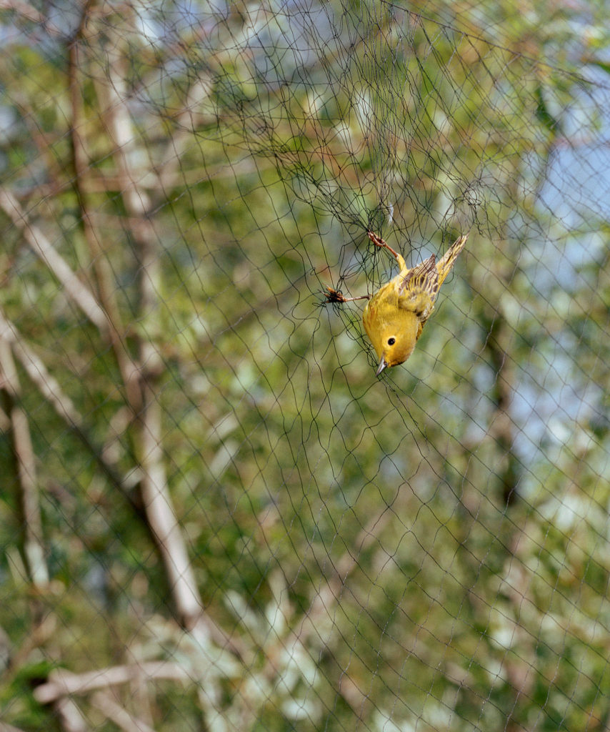 Untitled (Yellow Warbler caught in mist net)