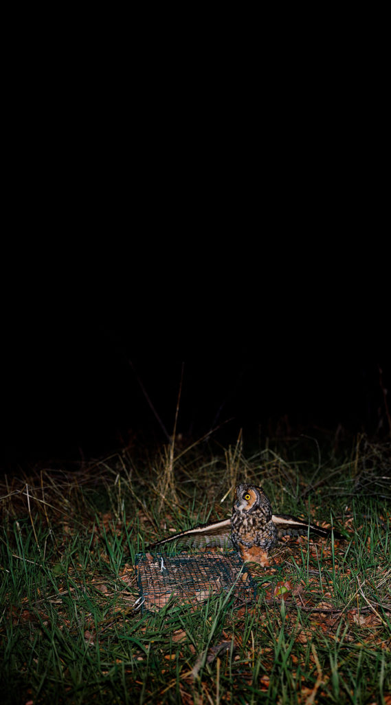 Untitled (Long Eared Owl caught in bal-chatri trap)