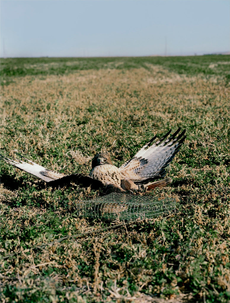 Untitled (Red Tailed Hawk caught in bal-chatri trap)