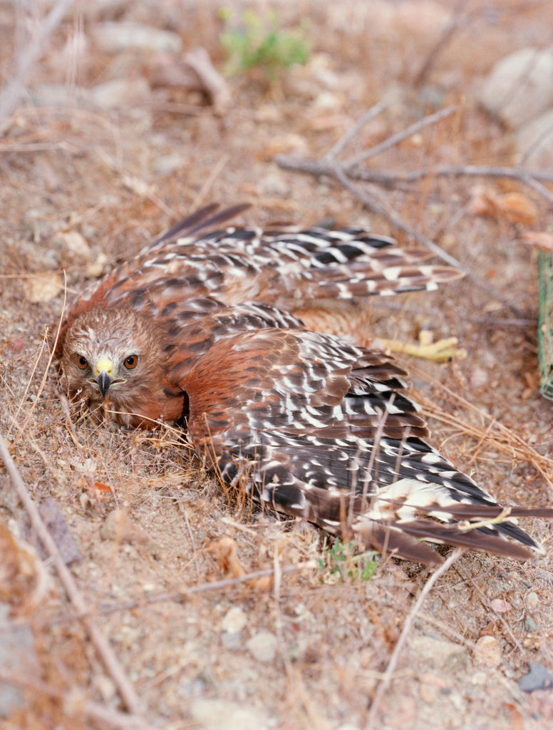 Untitled (Red Shouldered Hawk caught bal-chatri trap)