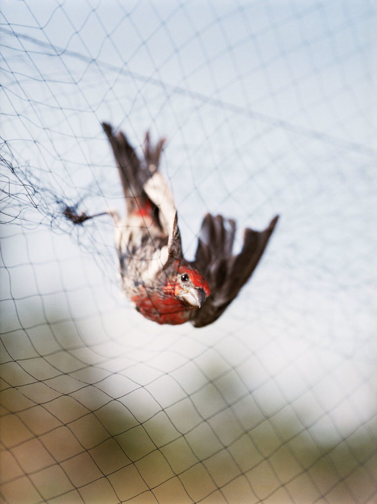 Untitled (House Finch caught in mist net)