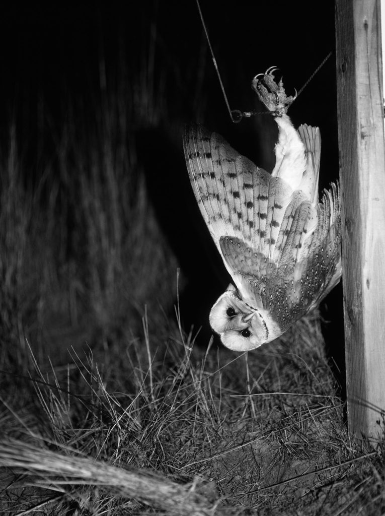Untitled (Barn Owl caught in Verbail trap)</i>