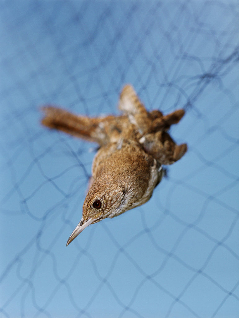 Untitled (House Wren caught in mist net)